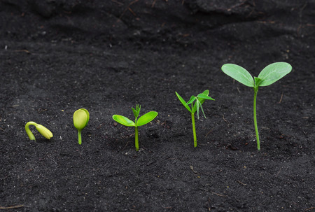 bean sprouts: Sequence of seed germination on soil, evolution concept