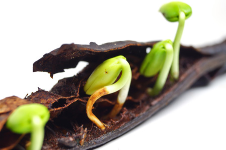 seed pods germination - plant seedling photo