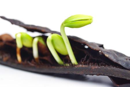 seed pod germination - plant seedling photo