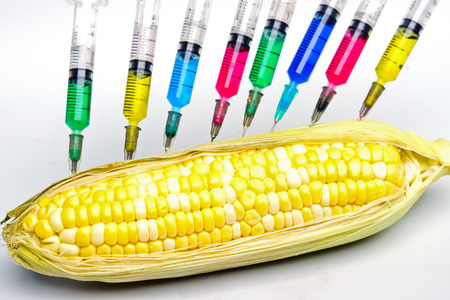 agricultural engineering: injecting chemical into gmo corn with syringes Stock Photo