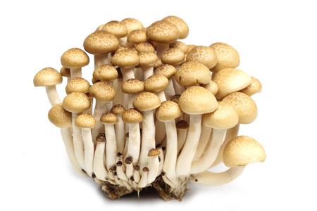 hon: Shimeji Mushroom  Hypsizygus marmoreus