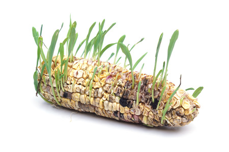 rotten corn with seedling photo