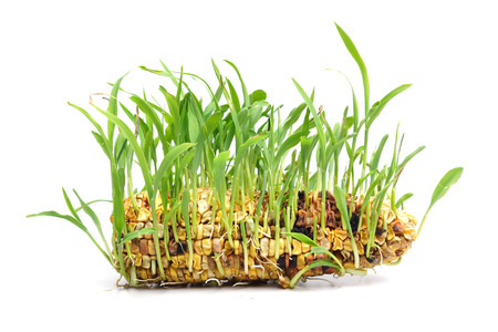corn seedling isolated in white  photo