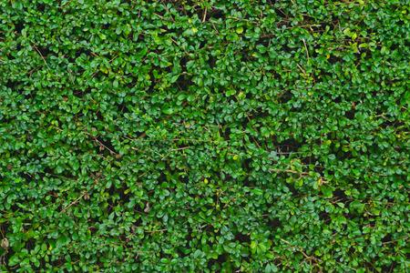 feuillage: mur de feuilles vertes