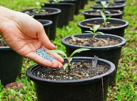 a hand giving fertilizer to a young plant in a plastic pot  planting tree