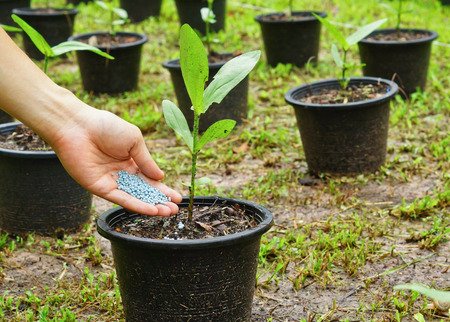 a hand giving fertilizer to a young plant in a plastic pot  planting tree photo