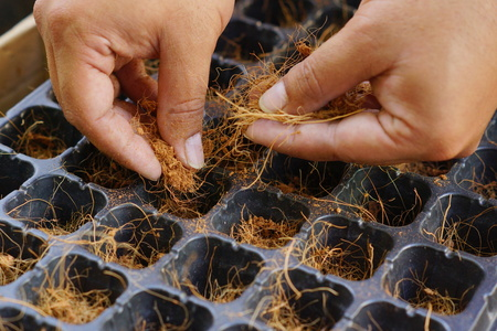 husk: hands putting coconut husk in to planting trays Stock Photo