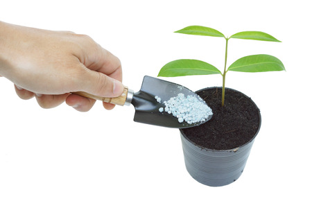 hand giving fertilizer to a young tree growing in a black plastic pot with isolated background photo