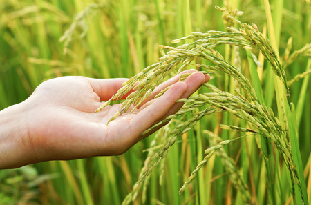 hand touching rice in a paddy field with warm sunlight