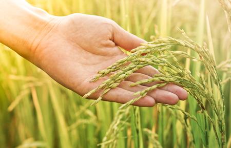 따뜻한 햇빛과 함께 논에서 쌀을 만지고 손