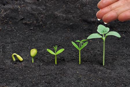 regando plantas: riego mano las plantas jóvenes que crecen en secuencia de la germinación Foto de archivo