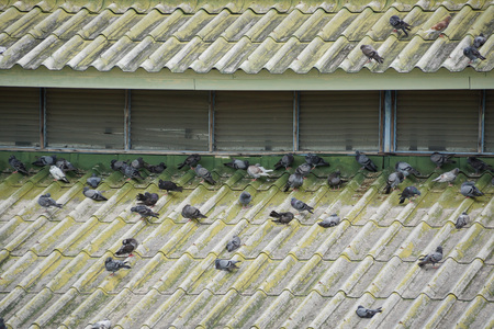 excrement: pigeons on the roof of the building causing problems due to excrement