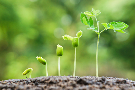 baby plants growing in germination sequence on fertile soil with natural green background Stockfoto