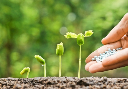 chemical fertilizer: hand of a farmer giving fertilizer to young green plants growing in germination sequence  nurturing baby plant with chemical fertilizer