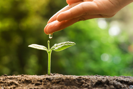 nurturing: hand nurturing and watering a young plant  Love and protect nature concept  nurturing baby plant