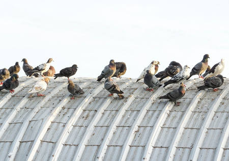 excrement: pigeons on the roof causing problems regarding bad smell, disease, and excrement