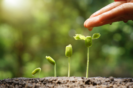 plants growing: hand nurturing and watering young baby plants growing in germination sequence on fertile soil with natural green background Stock Photo