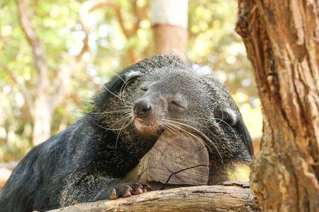 bearcat: bearcat sleeping on a tree Stock Photo