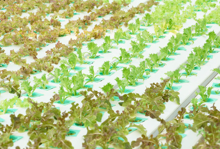 Hydroponic salad vegetable farm Stock Photo