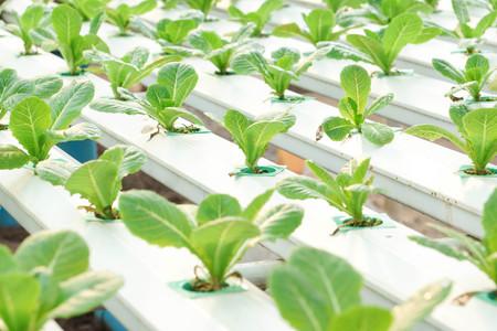 hydroponic: Hydroponic salad vegetable farm Stock Photo