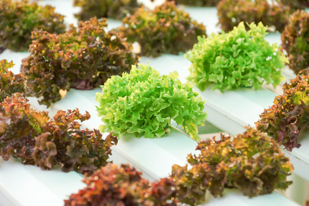 soilless cultivation: Hydroponic salad vegetable farm Stock Photo