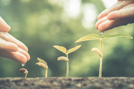 germinaci�n: Manos de riego de las plantas de beb� j�venes que crecen en secuencia de la germinaci�n en las monedas de oro  concepto de negocio verde