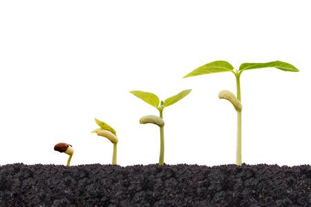 germinaci�n: Agricultura - plantas j�venes que crecen en secuencia de la germinaci�n aislados