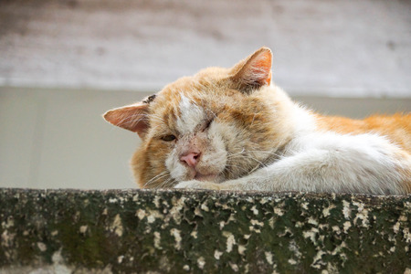 hormone  male: Local Tomcat. Old male cat with a big face on concrete wall