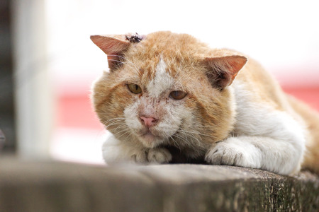 Old male cat with a big face on concrete wall  Big old tomcat