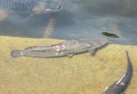 bagre: injured catfish in water