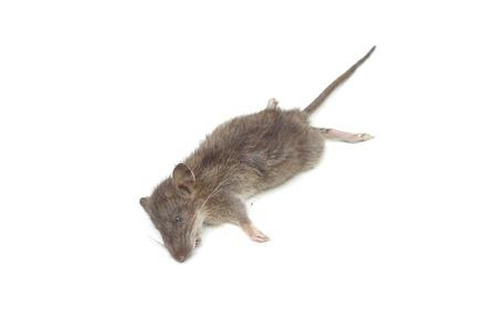 vermin: a dead mouse