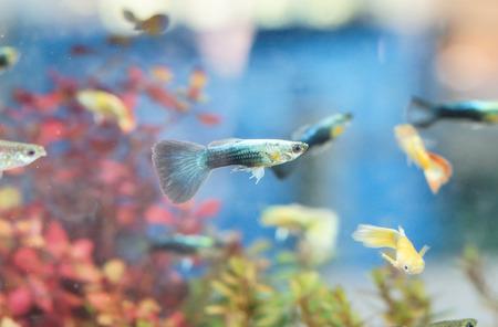 poecilia: Guppy in a fish tank (Poecilia reticulata)