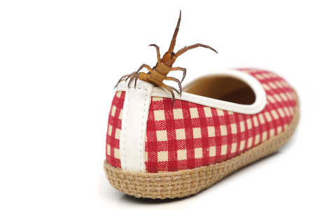 Centipede getting in a shoe  The danger of poisonous animal concept