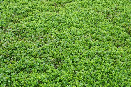 blocking: Water hyacinth blocking the river top view Stock Photo