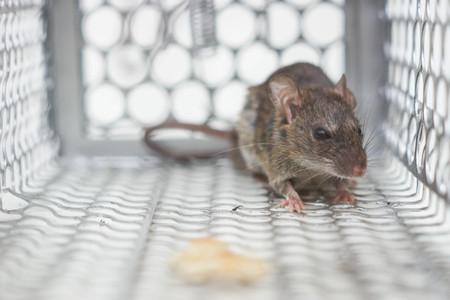 een muis in een val Stockfoto