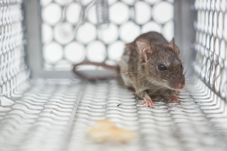 a mouse in a trap