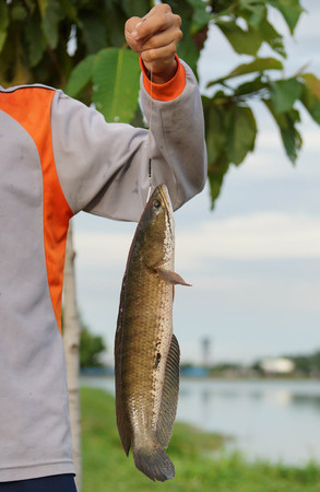 striped snakehead fish: Striped snakehead fish caught by a fisherman  Common snakehead, Chevron snakehead, Striped snakehead  Channa striata