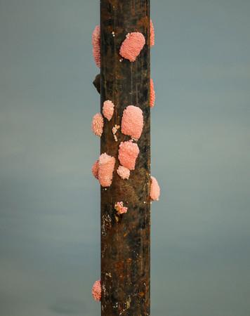 Pomacea canaliculata eggs on metal pole