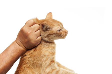 grabbing at the back: hand grabbing a cats neck at the back - a safe way the catch a cat Stock Photo