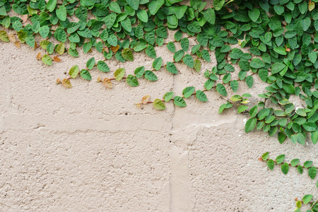 wood plank wall texture with green creeper plant  Ficus pumila L.