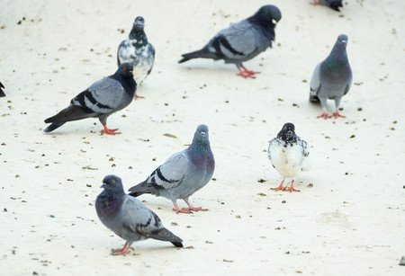 Pigeons on the building roof causing excrement problems and disease (Cryptococcal meningitis)