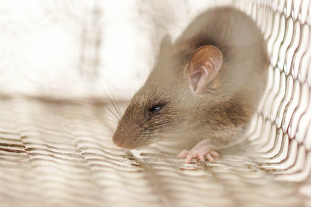 entrapment: Closeup of a mouse in a cage trap Stock Photo