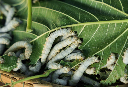Silkworms eating leaves