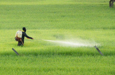 pesticides: Thai farmer using pesticide in the rice paddy field