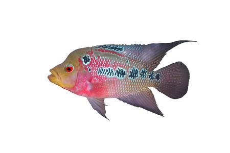 Female Cichlidae  Flowerhorn Crossbreed Fish