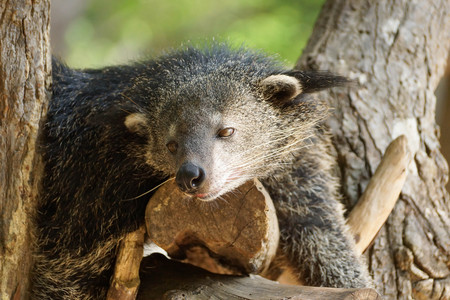 bearcat: Bearcat sleeping on a tree  Binturong  Arctictis Binturong