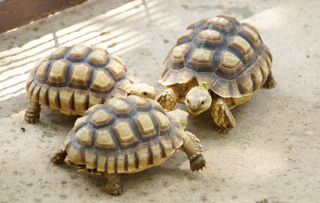 Young Sulcata Tortoise eating green leaves