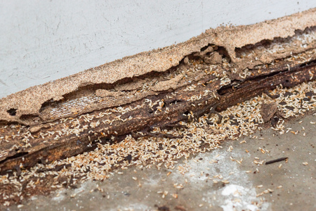 Termites destroying wood from the ground  Termite problem in house concept