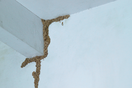 Termites building a mud tube on wooden wall of a room / Termite problem in house concept