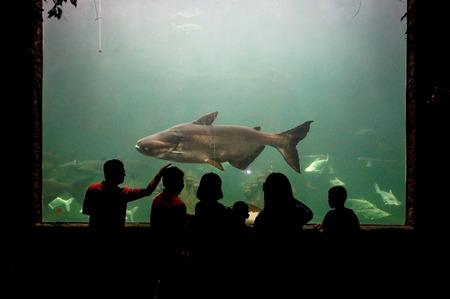 viewing: People watching a Mekong giant catfish in aquarium  Pangasianodon gigas
